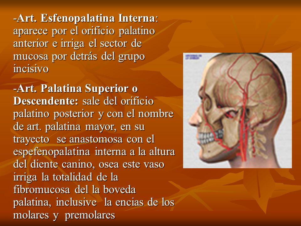 -Art. Esfenopalatina Interna: aparece por el orificio palatino anterior e irriga el sector de mucosa por detrás del grupo incisivo -Art. Palatina Supe