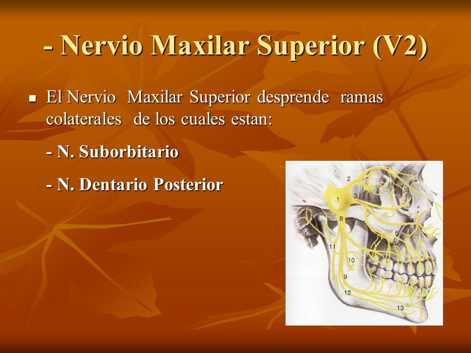 - Nervio Maxilar Superior (V2) El Nervio Maxilar Superior desprende ramas colaterales de los cuales estan: El Nervio Maxilar Superior desprende ramas