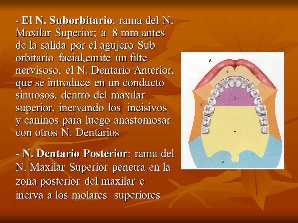 - El N. Suborbitario: rama del N. Maxilar Superior; a 8 mm antes de la salida por el agujero Sub orbitario facial,emite un filte nervisoso, el N. Dent