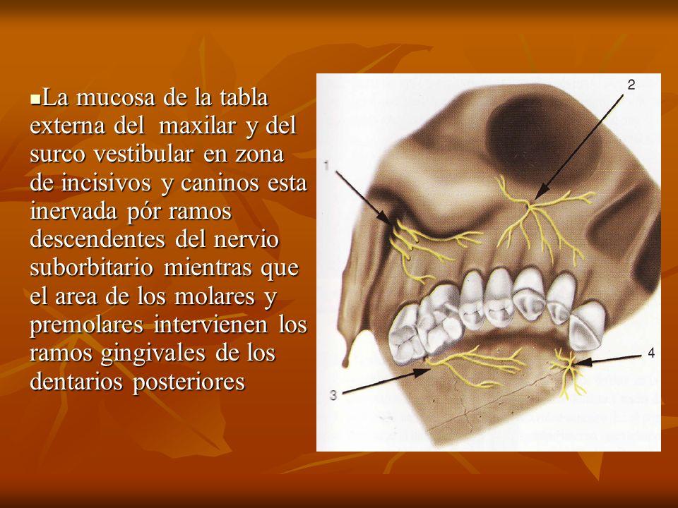 La mucosa de la tabla externa del maxilar y del surco vestibular en zona de incisivos y caninos esta inervada pór ramos descendentes del nervio suborb