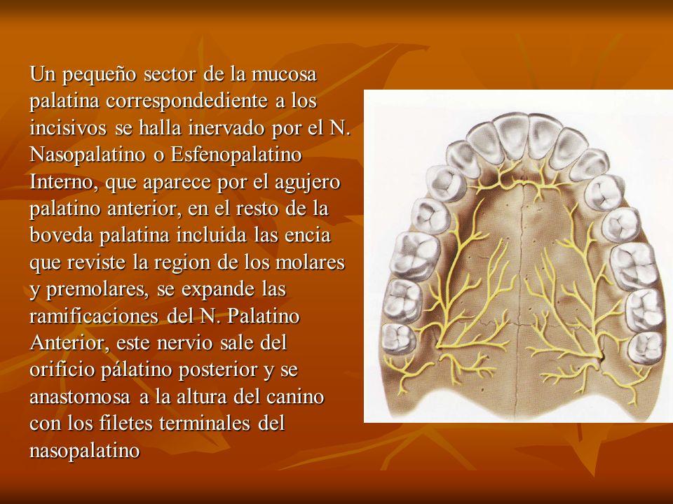 Un pequeño sector de la mucosa palatina correspondediente a los incisivos se halla inervado por el N. Nasopalatino o Esfenopalatino Interno, que apare