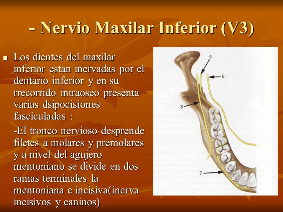 - Nervio Maxilar Inferior (V3) Los dientes del maxilar inferior estan inervadas por el dentario inferior y en su rrecorrido intraoseo presenta varias