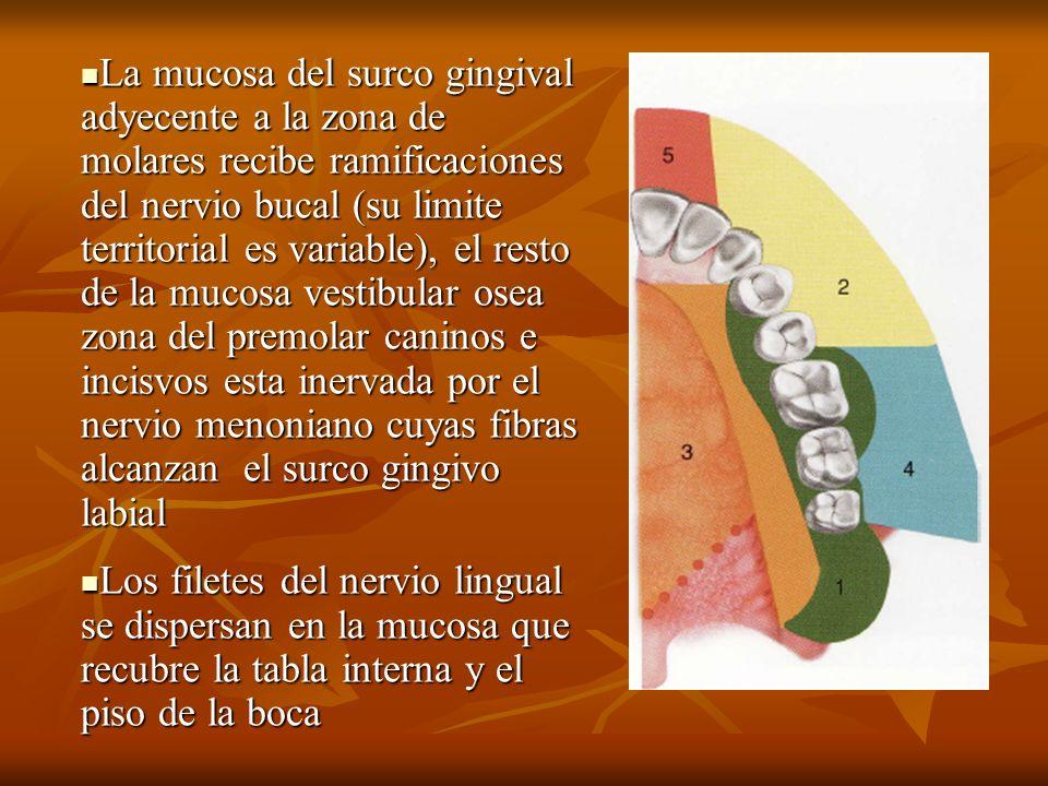 La mucosa del surco gingival adyecente a la zona de molares recibe ramificaciones del nervio bucal (su limite territorial es variable), el resto de la