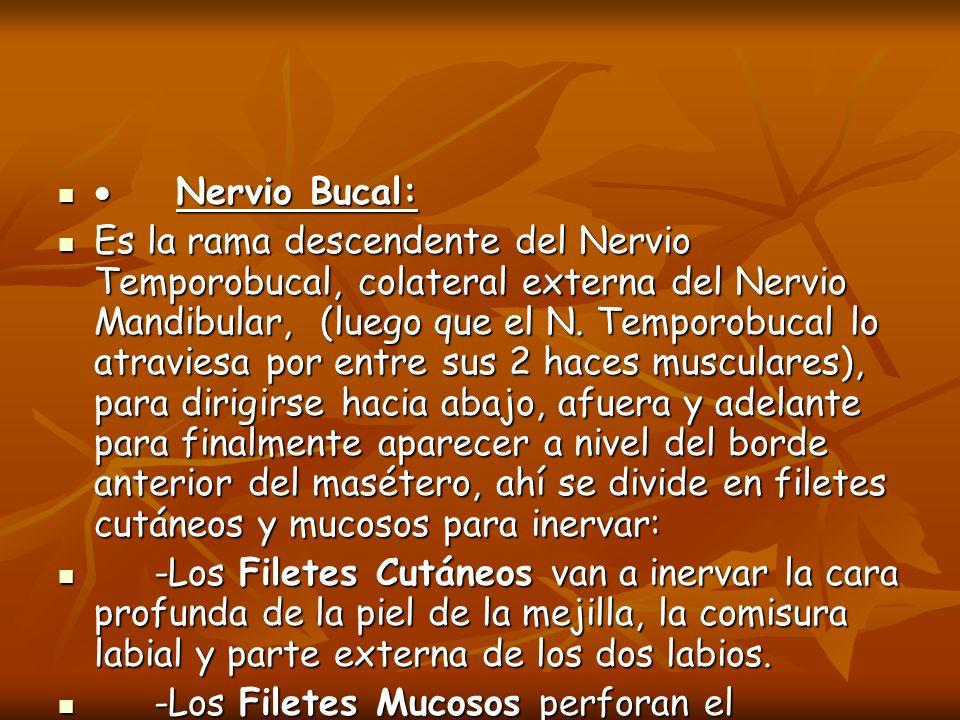 Nervio Bucal: Nervio Bucal: Es la rama descendente del Nervio Temporobucal, colateral externa del Nervio Mandibular, (luego que el N. Temporobucal lo