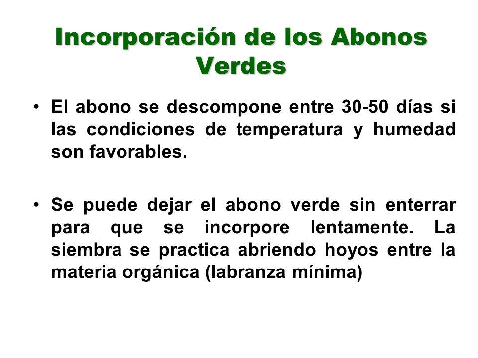 Incorporación de los Abonos Verdes El abono se descompone entre 30-50 días si las condiciones de temperatura y humedad son favorables. Se puede dejar
