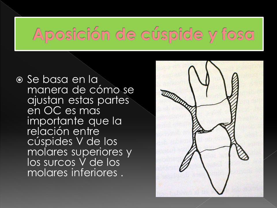 Otra relación Cúspide – fosa es el contacto de cúspides linguales relativamente agudas de los premolares superiores con las fosas triangulares de los premolares inferiores.