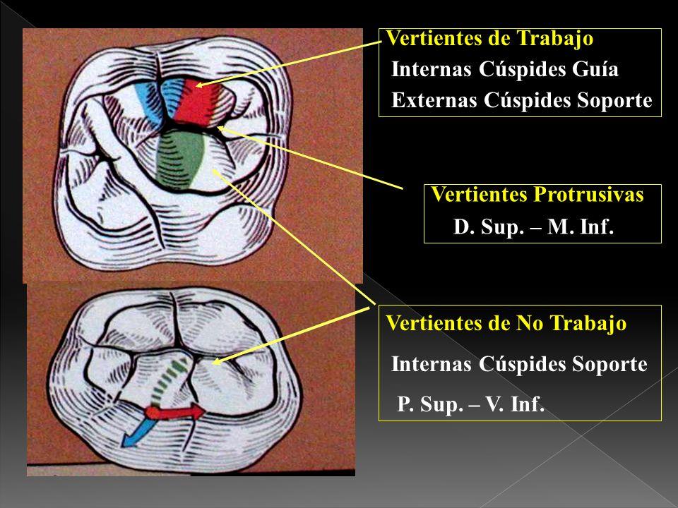 Relación dinámica entre incisivos superiores e inferiores en todas las funciones.