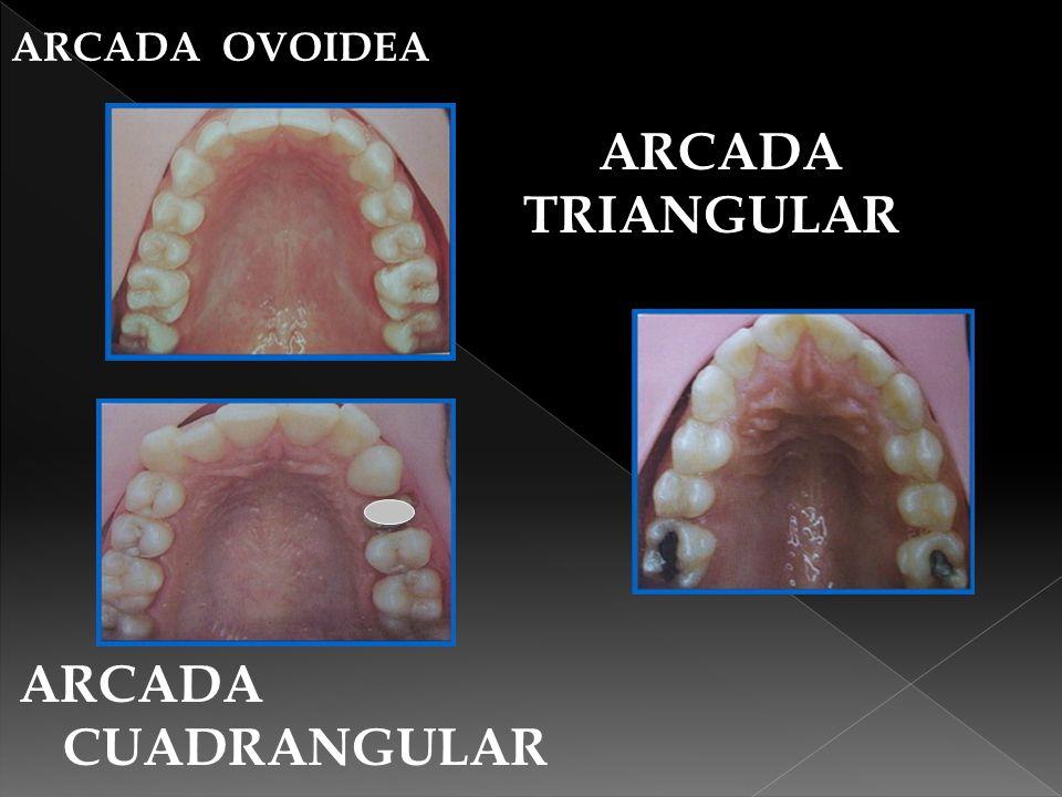 Las arcadas contienen a su largo dientes por pares,empezando en la línea media uno derecho otro izquierdo.