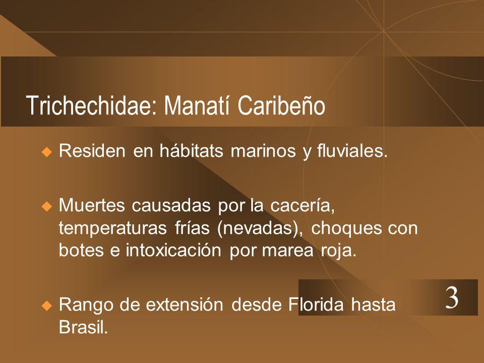 Trichechidae: Manatí Caribeño Residen en hábitats marinos y fluviales. Muertes causadas por la cacería, temperaturas frías (nevadas), choques con bote