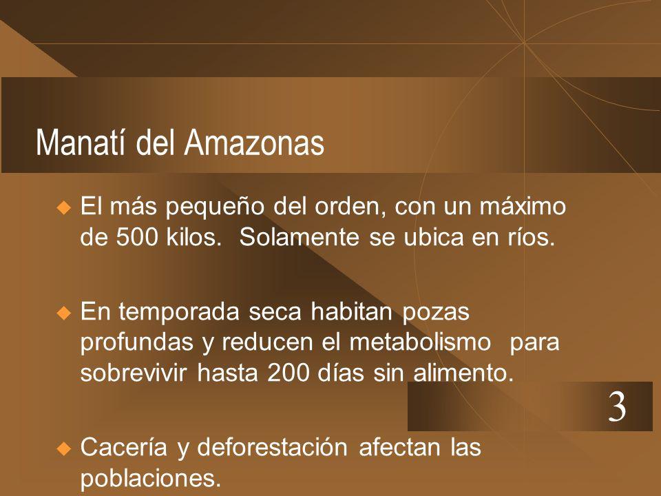 Manatí del Amazonas El más pequeño del orden, con un máximo de 500 kilos. Solamente se ubica en ríos. En temporada seca habitan pozas profundas y redu