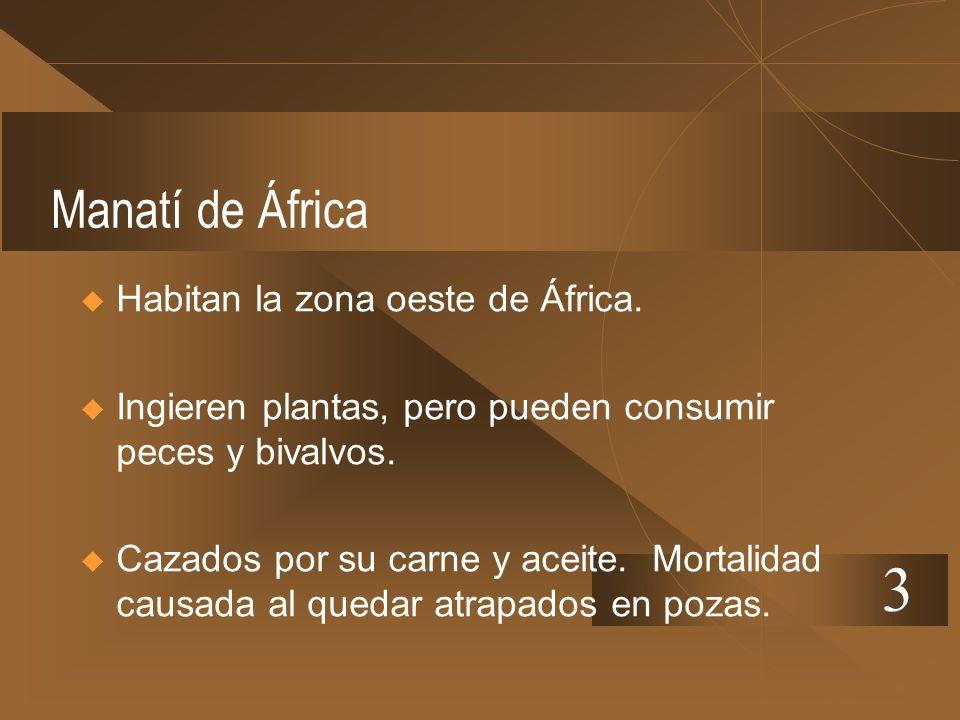 Manatí de África Habitan la zona oeste de África. Ingieren plantas, pero pueden consumir peces y bivalvos. Cazados por su carne y aceite. Mortalidad c