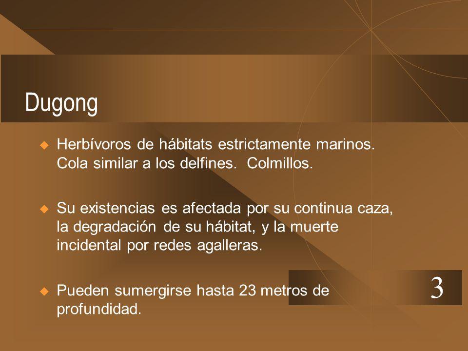 Dugong Herbívoros de hábitats estrictamente marinos. Cola similar a los delfines. Colmillos. Su existencias es afectada por su continua caza, la degra