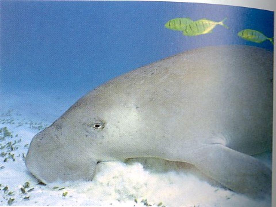 Dugong Dugongs han sido cazados hace 4000 años.