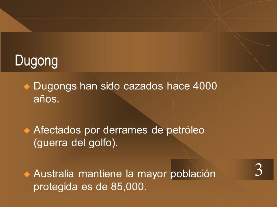 Dugong Dugongs han sido cazados hace 4000 años. Afectados por derrames de petróleo (guerra del golfo). Australia mantiene la mayor población protegida