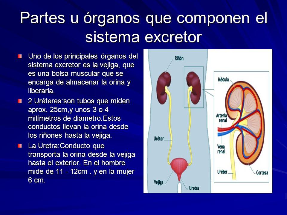 Partes u órganos que componen el sistema excretor Uno de los principales órganos del sistema excretor es la vejiga, que es una bolsa muscular que se e
