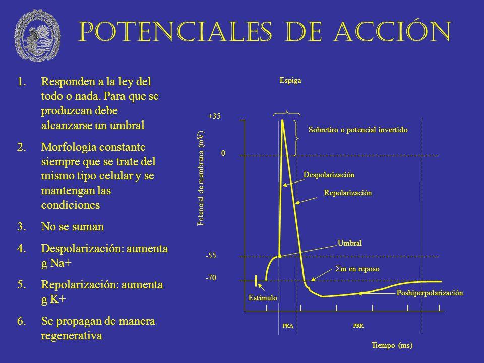 Diferentes potenciales de acción El tipo de potencial correlaciona con función.