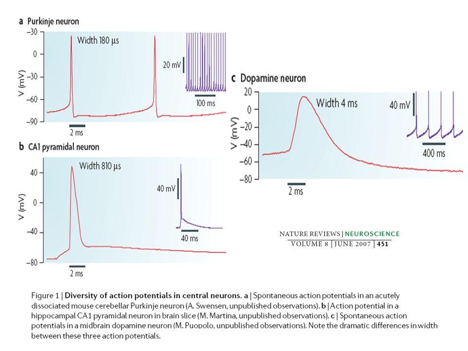 V Mielinizadas: V 6m/s por c/ m total = (r m /r i ) ½ = Rm x Cm Mayoría de células con entre 1 y 20 ms y entre 0.1 y 2 mm
