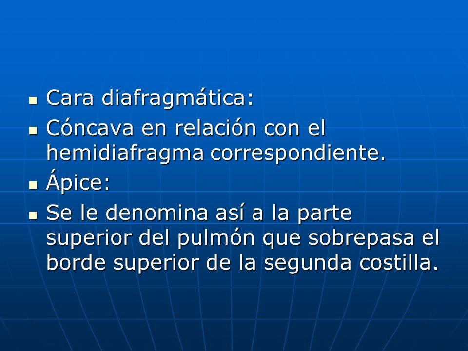 Cara diafragmática: Cara diafragmática: Cóncava en relación con el hemidiafragma correspondiente. Cóncava en relación con el hemidiafragma correspondi