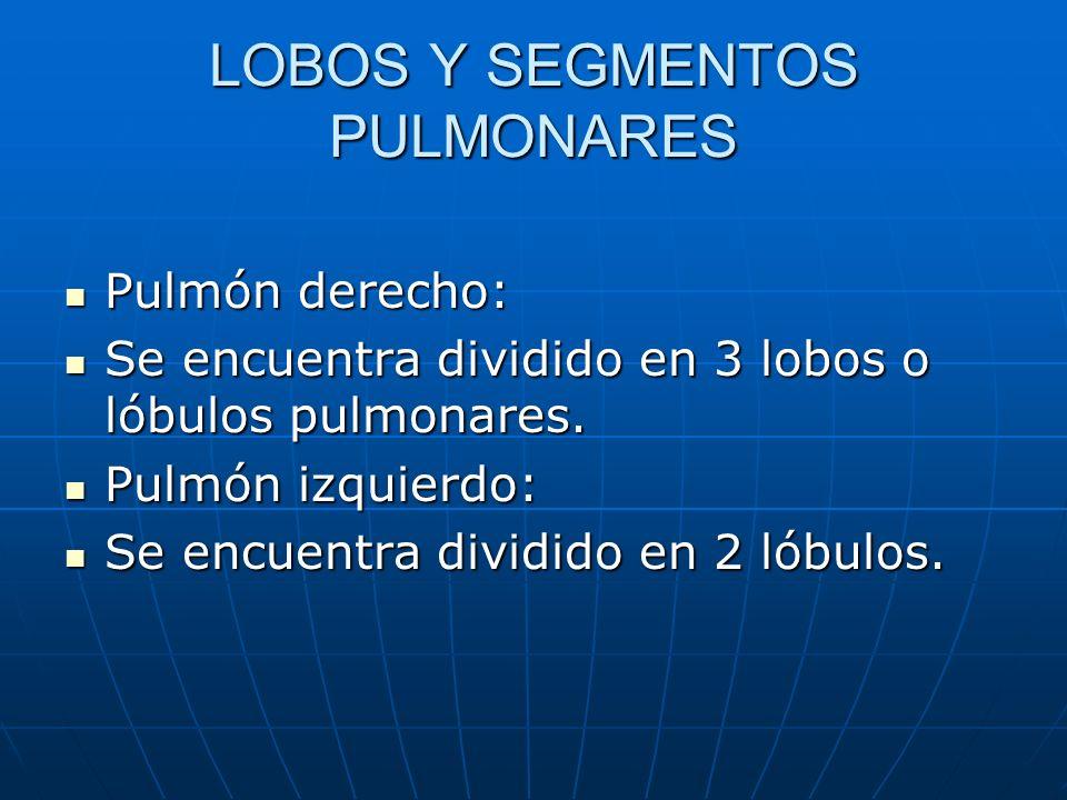 LOBOS Y SEGMENTOS PULMONARES Pulmón derecho: Pulmón derecho: Se encuentra dividido en 3 lobos o lóbulos pulmonares. Se encuentra dividido en 3 lobos o