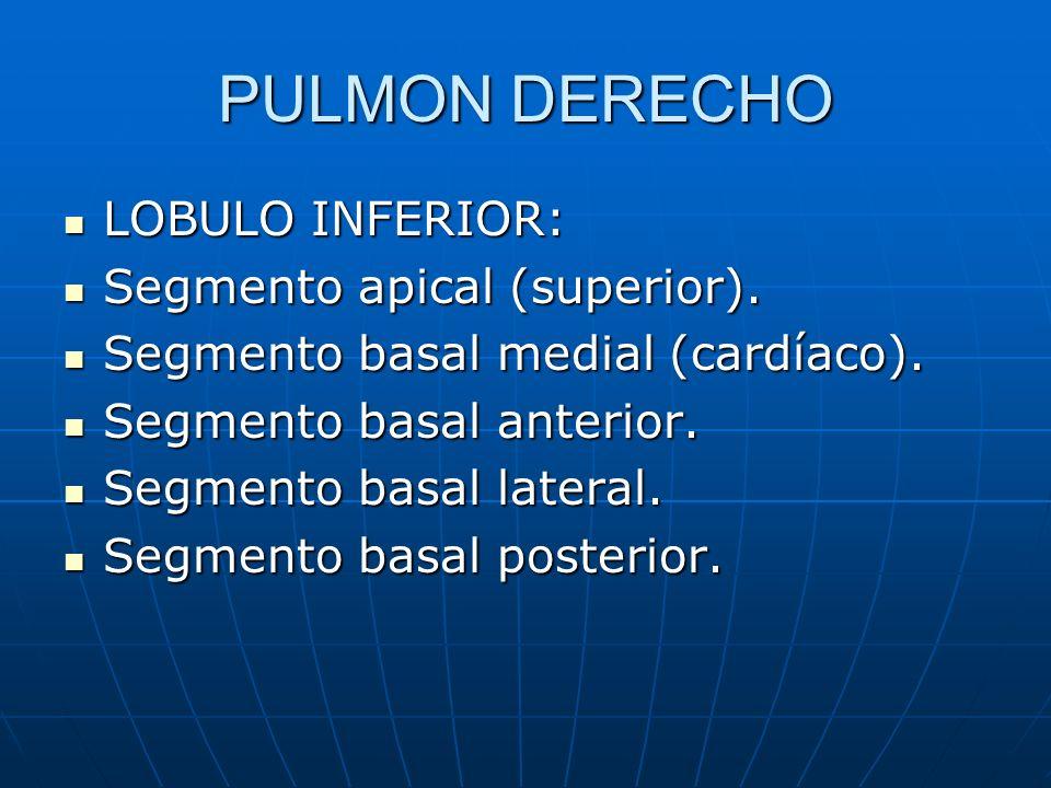 PULMON DERECHO LOBULO INFERIOR: LOBULO INFERIOR: Segmento apical (superior). Segmento apical (superior). Segmento basal medial (cardíaco). Segmento ba