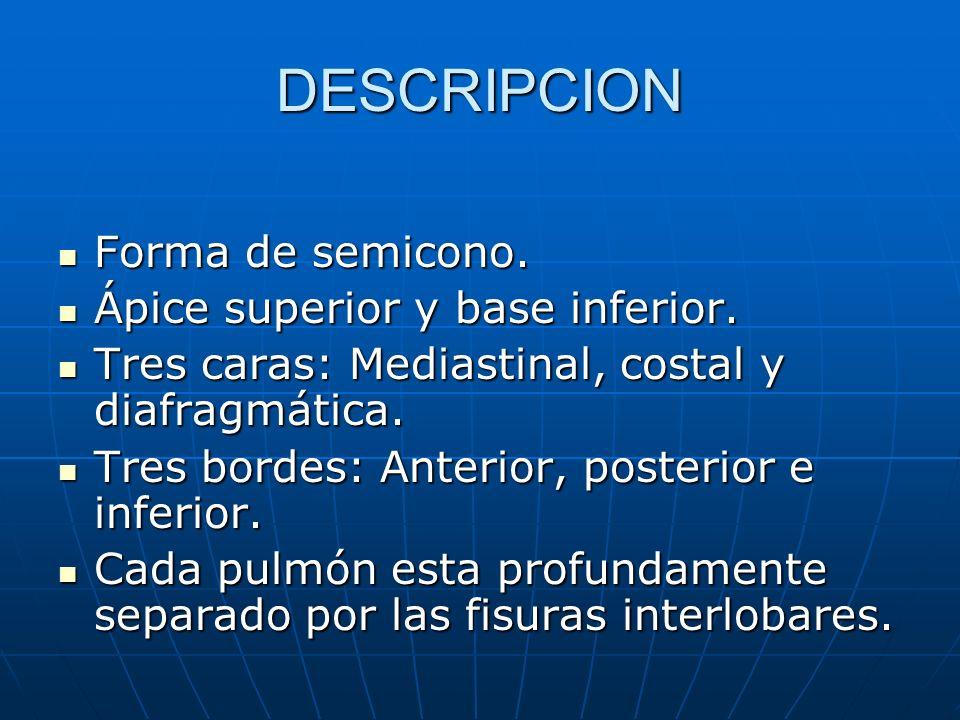 PULMON IZQUIERDO LOBULO SUPERIOR: LOBULO SUPERIOR: Segmento apicoposterior.