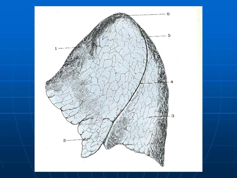 Cara medial mediastinal: Cara medial mediastinal: Es cóncava y se encuentra en relación con los órganos mediastinales.