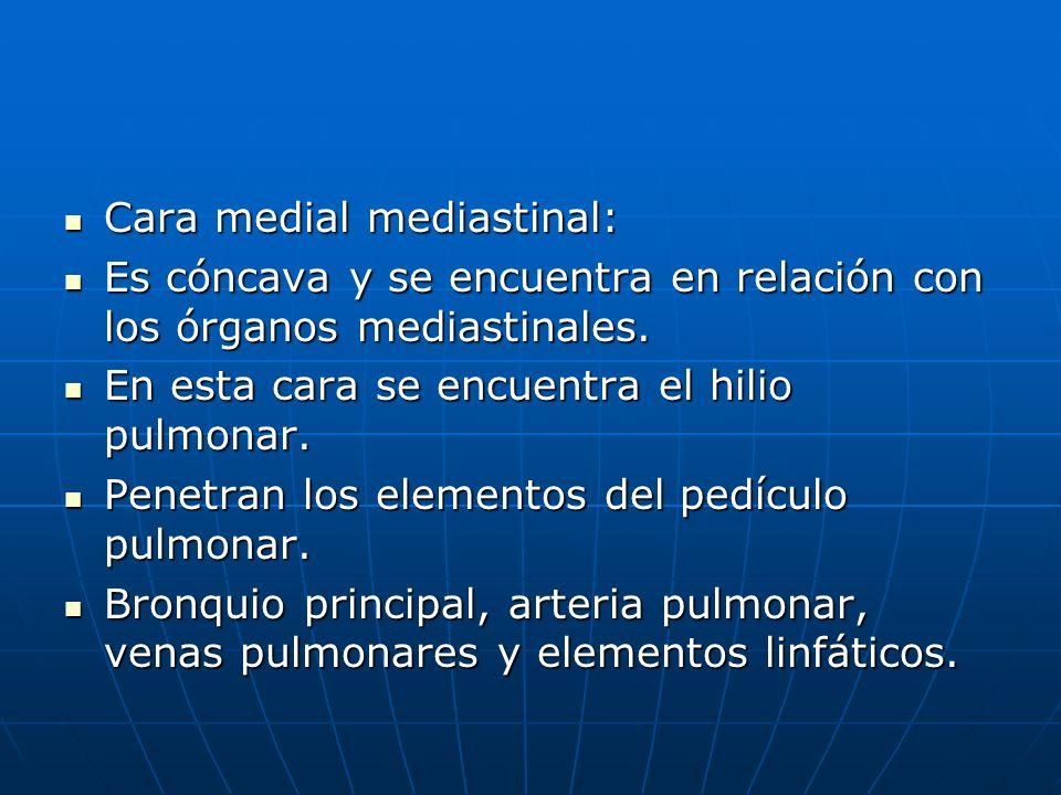 Cara medial mediastinal: Cara medial mediastinal: Es cóncava y se encuentra en relación con los órganos mediastinales. Es cóncava y se encuentra en re