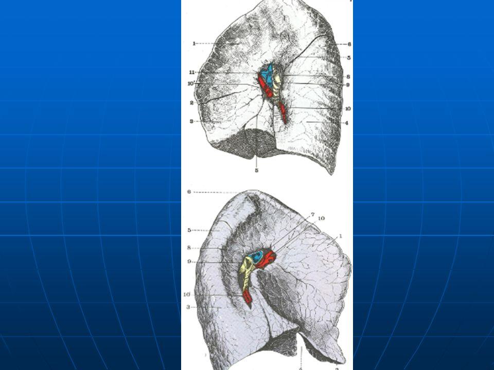 Estas 2 pleuras se continúan la una con la otra a nivel del pedículo pulmonar.
