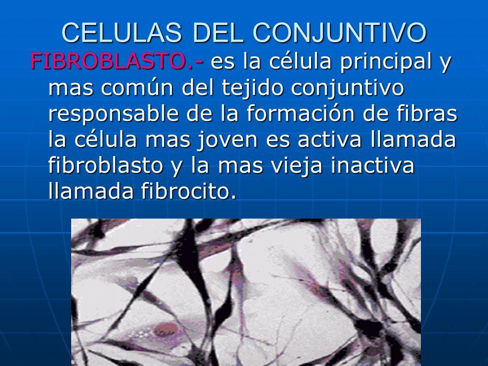 CELULAS DEL CONJUNTIVO FIBROBLASTO.- es la célula principal y mas común del tejido conjuntivo responsable de la formación de fibras la célula mas jove