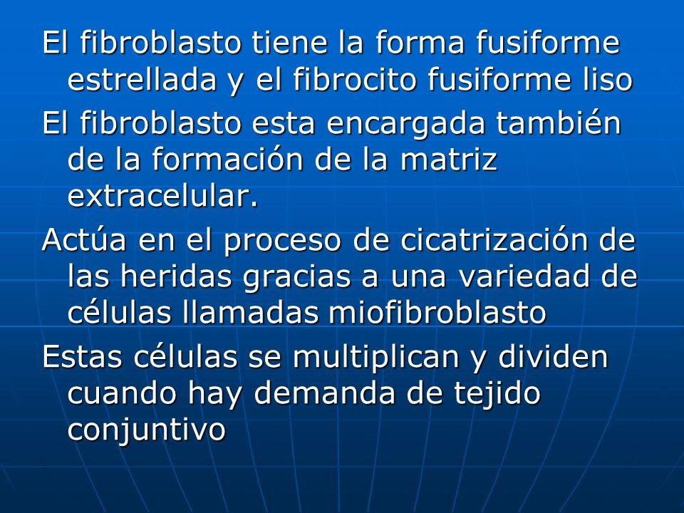 El fibroblasto tiene la forma fusiforme estrellada y el fibrocito fusiforme liso El fibroblasto esta encargada también de la formación de la matriz ex