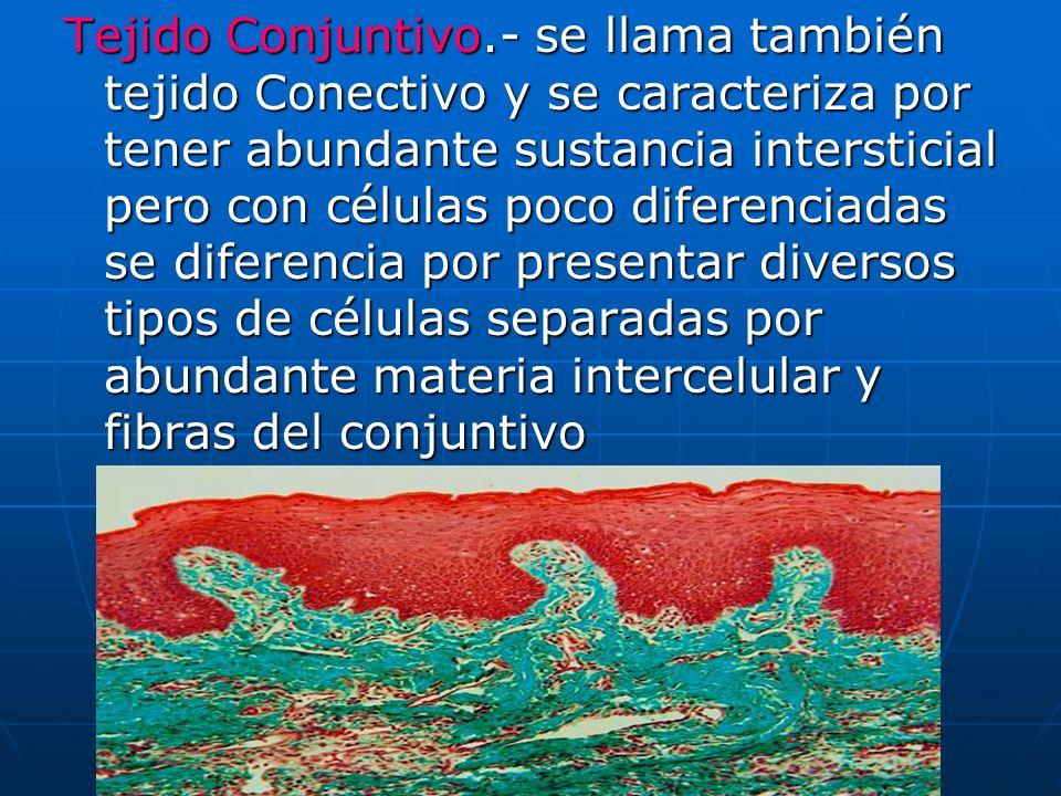 Tejido Conjuntivo.- se llama también tejido Conectivo y se caracteriza por tener abundante sustancia intersticial pero con células poco diferenciadas