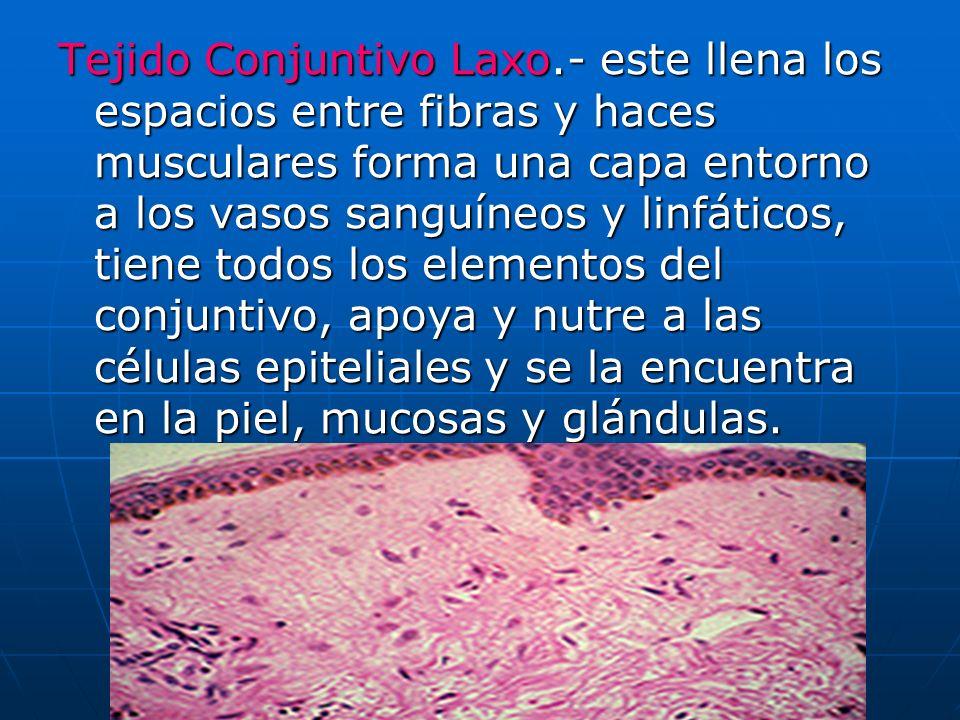 Tejido Conjuntivo Laxo.- este llena los espacios entre fibras y haces musculares forma una capa entorno a los vasos sanguíneos y linfáticos, tiene tod