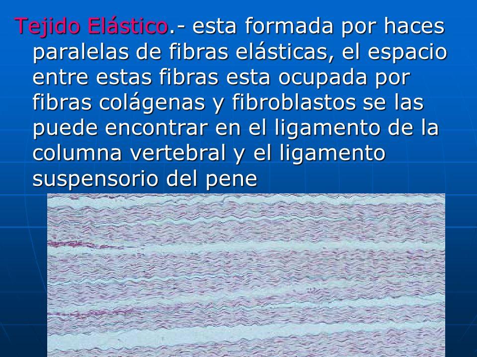 Tejido Elástico.- esta formada por haces paralelas de fibras elásticas, el espacio entre estas fibras esta ocupada por fibras colágenas y fibroblastos