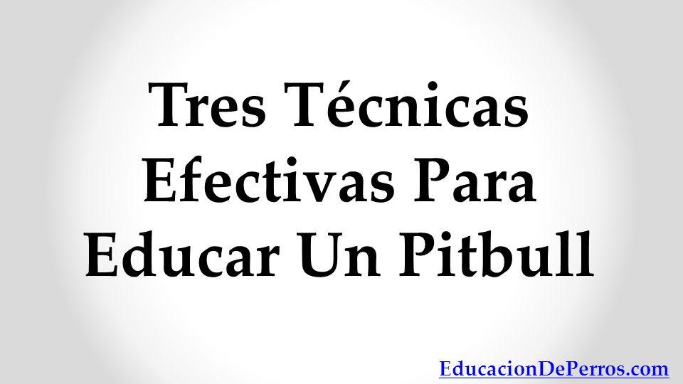 Tres Técnicas Efectivas Para Educar Un Pitbull EducacionDePerros.com