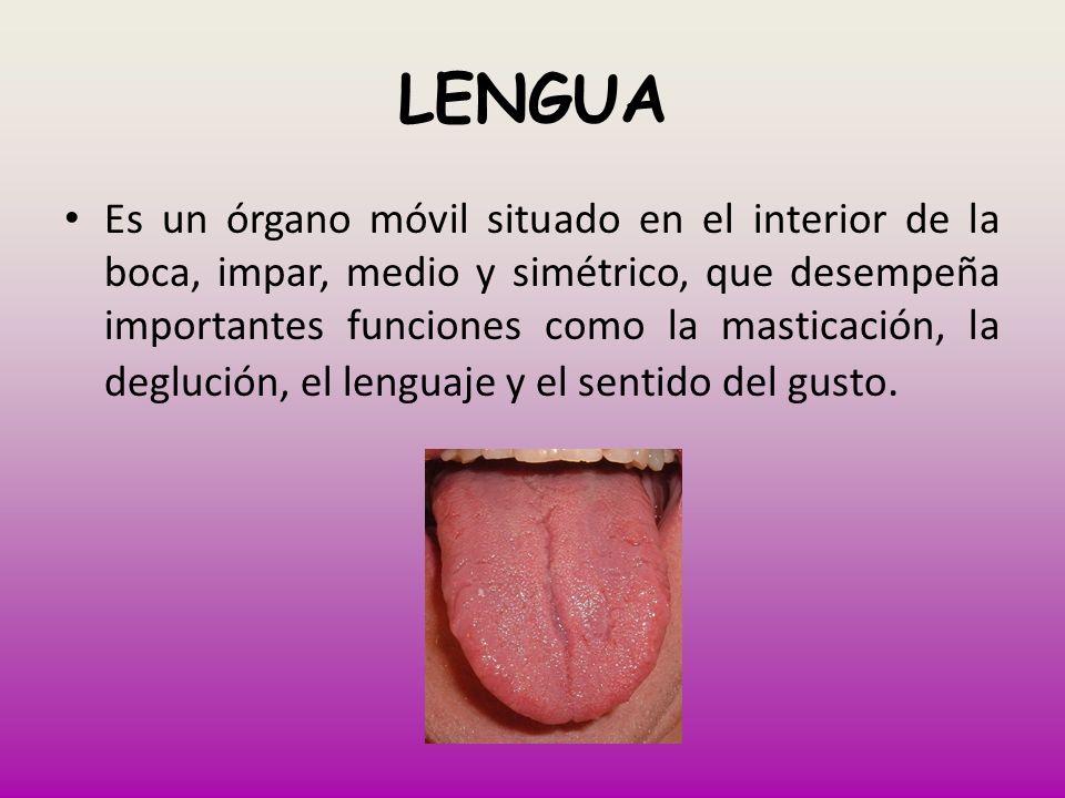 LENGUA Es un órgano móvil situado en el interior de la boca, impar, medio y simétrico, que desempeña importantes funciones como la masticación, la deg