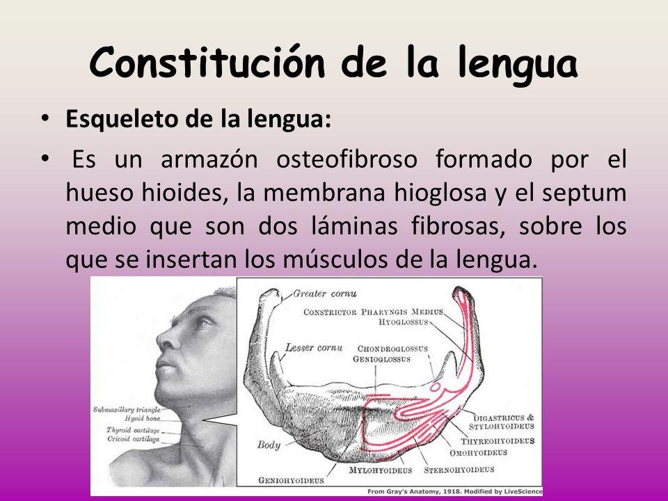 Constitución de la lengua Esqueleto de la lengua: Es un armazón osteofibroso formado por el hueso hioides, la membrana hioglosa y el septum medio que