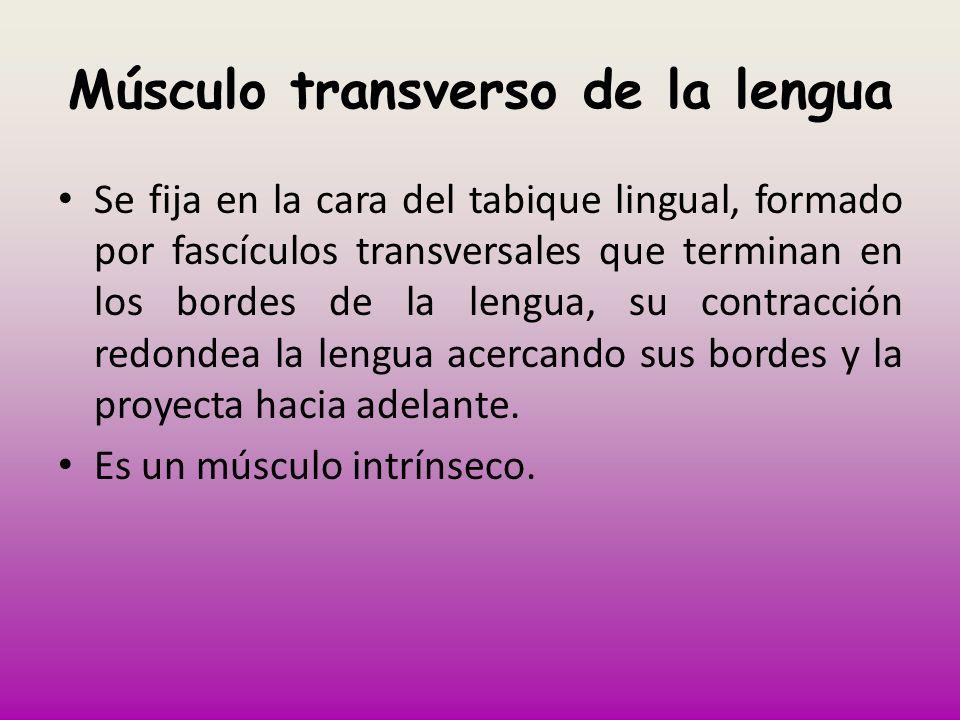Músculo transverso de la lengua Se fija en la cara del tabique lingual, formado por fascículos transversales que terminan en los bordes de la lengua,