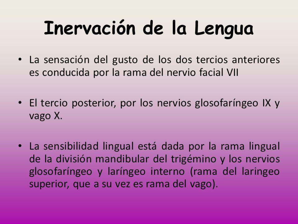 Inervación de la Lengua La sensación del gusto de los dos tercios anteriores es conducida por la rama del nervio facial VII El tercio posterior, por l