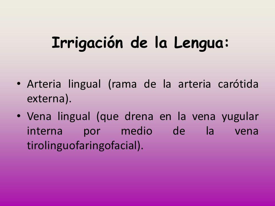 Irrigación de la Lengua: Arteria lingual (rama de la arteria carótida externa). Vena lingual (que drena en la vena yugular interna por medio de la ven
