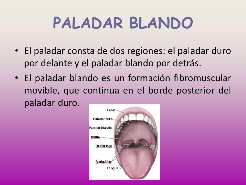 PALADAR BLANDO El paladar consta de dos regiones: el paladar duro por delante y el paladar blando por detrás. El paladar blando es un formación fibrom