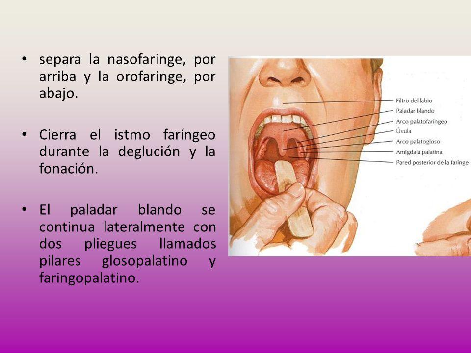 separa la nasofaringe, por arriba y la orofaringe, por abajo. Cierra el istmo faríngeo durante la deglución y la fonación. El paladar blando se contin
