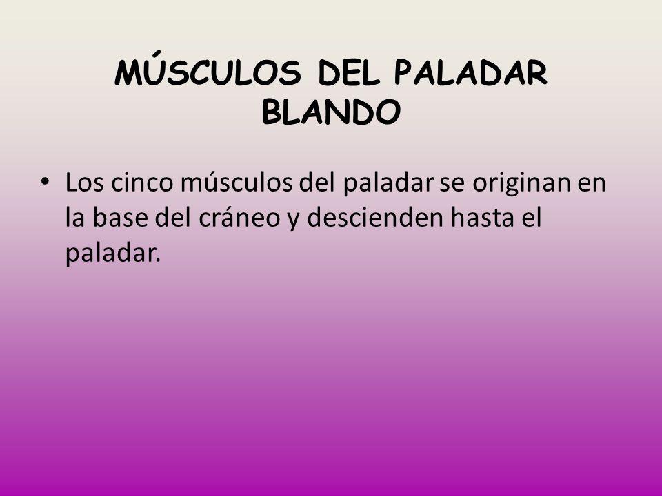 MÚSCULOS DEL PALADAR BLANDO Los cinco músculos del paladar se originan en la base del cráneo y descienden hasta el paladar.