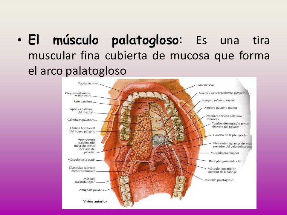 El músculo palatogloso: Es una tira muscular fina cubierta de mucosa que forma el arco palatogloso