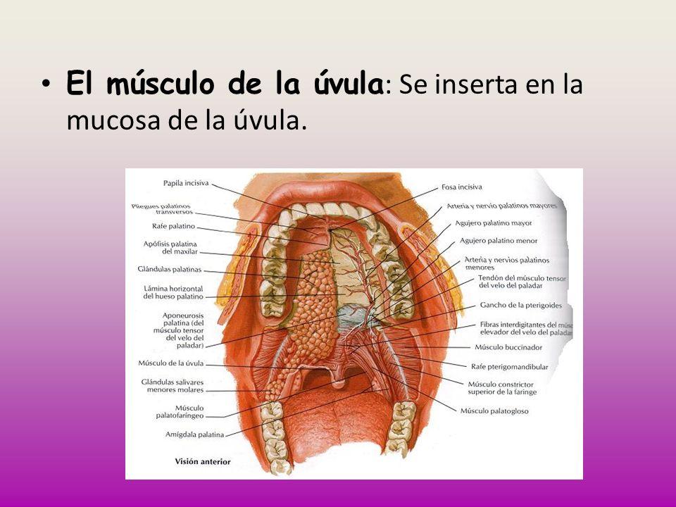 El músculo de la úvula : Se inserta en la mucosa de la úvula.