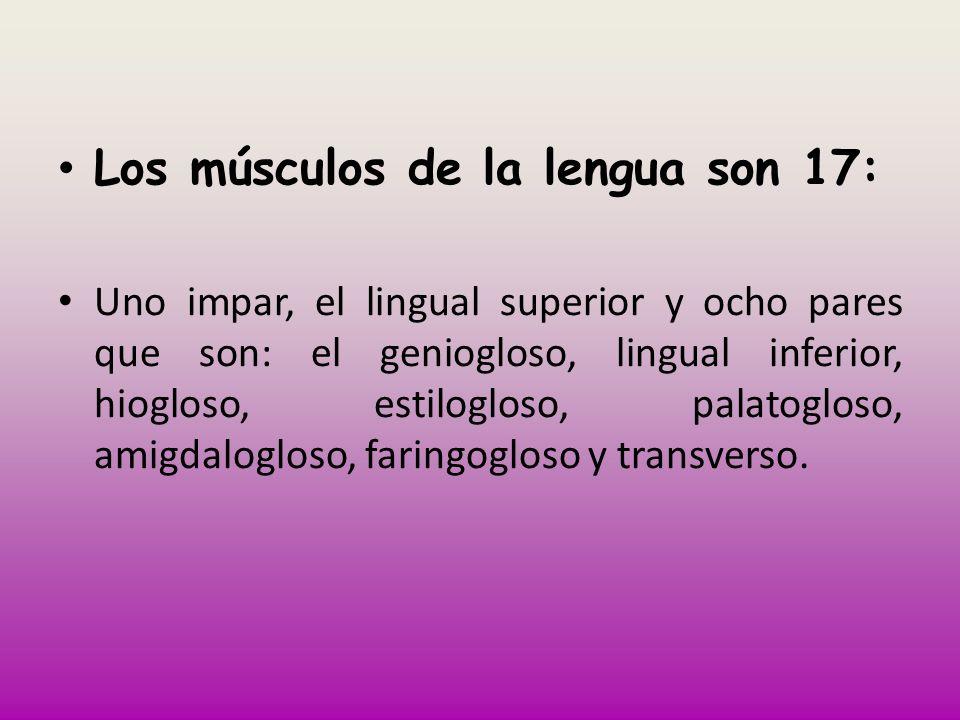 Los músculos de la lengua son 17: Uno impar, el lingual superior y ocho pares que son: el geniogloso, lingual inferior, hiogloso, estilogloso, palatog
