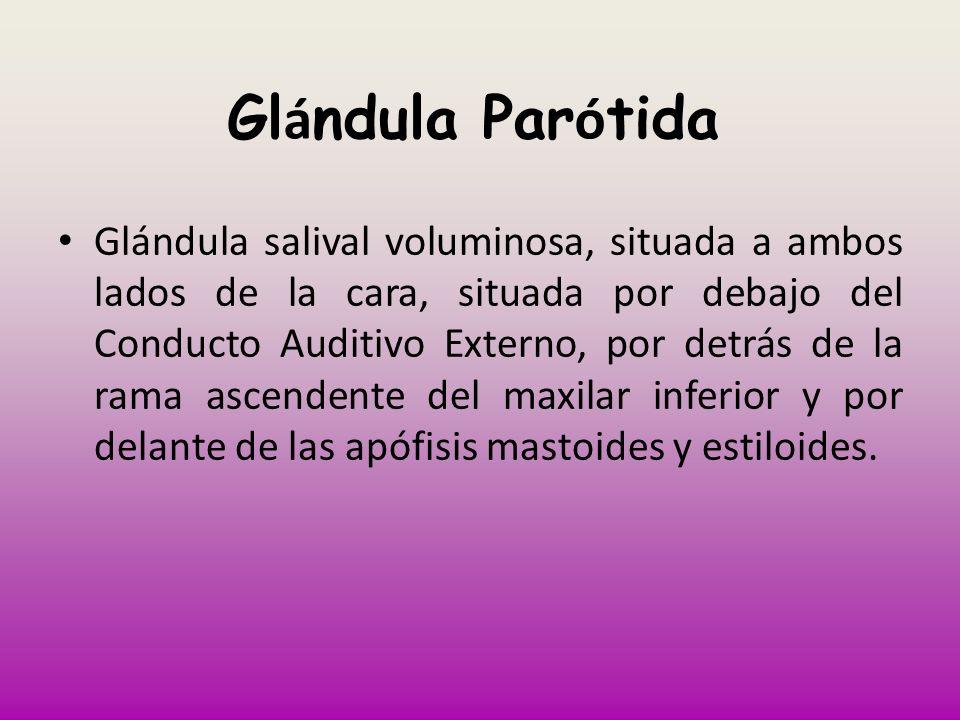 Gl á ndula Par ó tida Glándula salival voluminosa, situada a ambos lados de la cara, situada por debajo del Conducto Auditivo Externo, por detrás de l