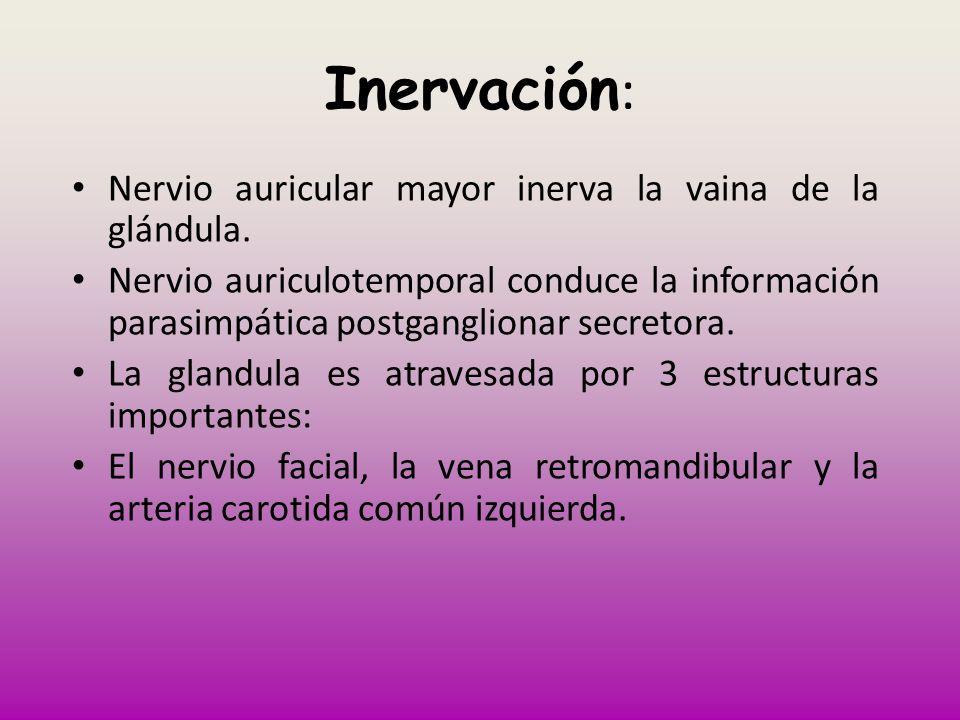 Inervación : Nervio auricular mayor inerva la vaina de la glándula. Nervio auriculotemporal conduce la información parasimpática postganglionar secret