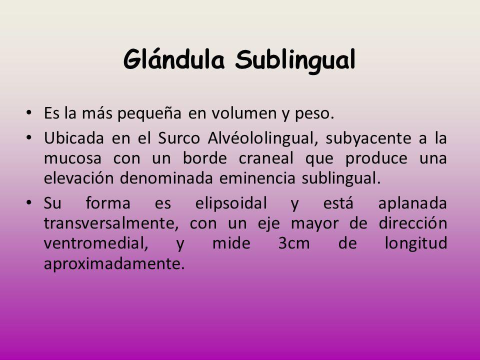 Glándula Sublingual Es la más pequeña en volumen y peso. Ubicada en el Surco Alvéololingual, subyacente a la mucosa con un borde craneal que produce u