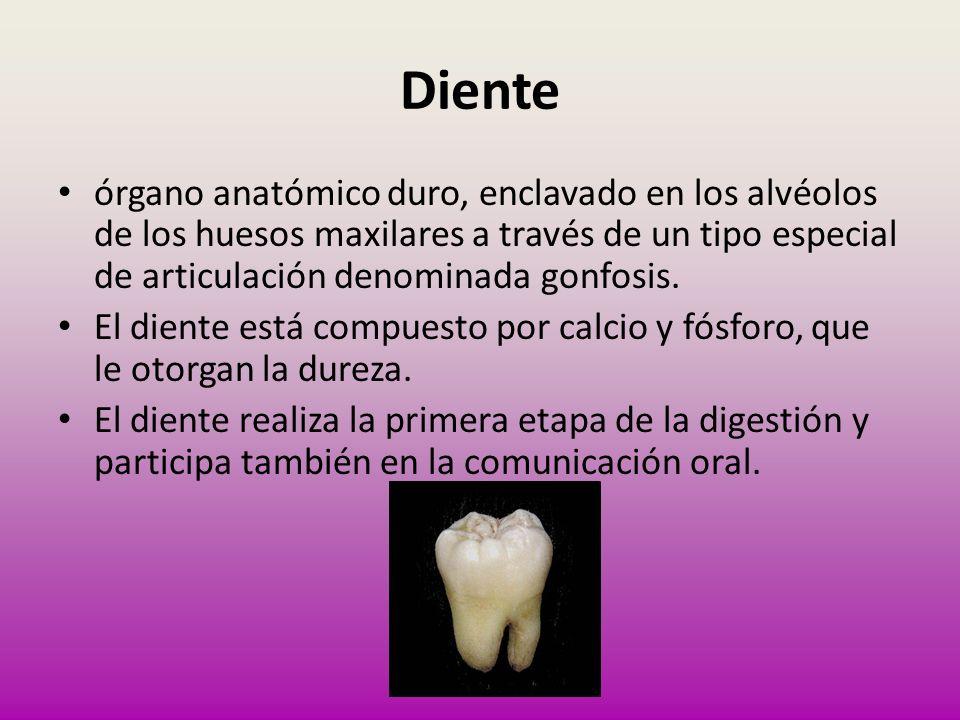Diente órgano anatómico duro, enclavado en los alvéolos de los huesos maxilares a través de un tipo especial de articulación denominada gonfosis. El d