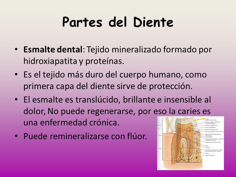 Partes del Diente Esmalte dental: Tejido mineralizado formado por hidroxiapatita y proteínas. Es el tejido más duro del cuerpo humano, como primera ca